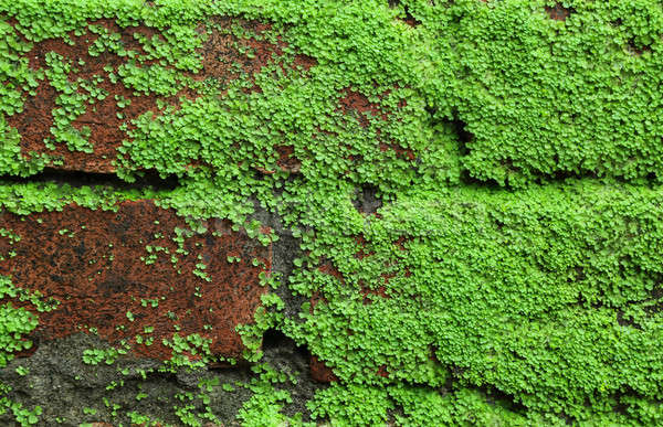 Moss background Stock photo © bdspn