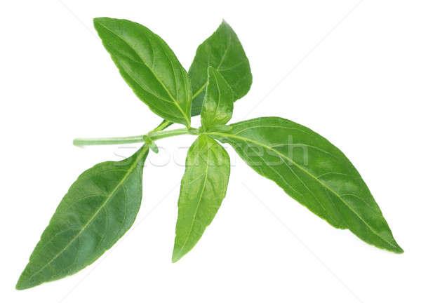 Ayurvedic Medicinal Chirata leaves Stock photo © bdspn