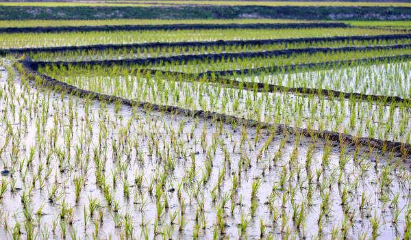 Kilátás megművelt mező rizs vidéki tavasz Stock fotó © bdspn