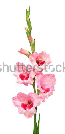 Closeup of pink gladiolus Stock photo © bdspn