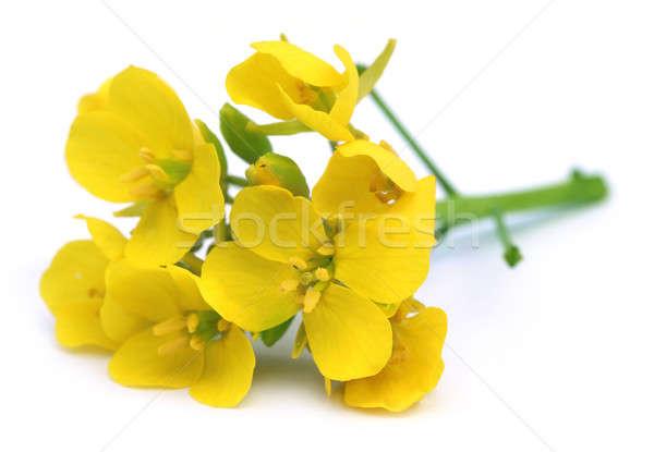 Ehető mustár virágok köteg fehér virág Stock fotó © bdspn