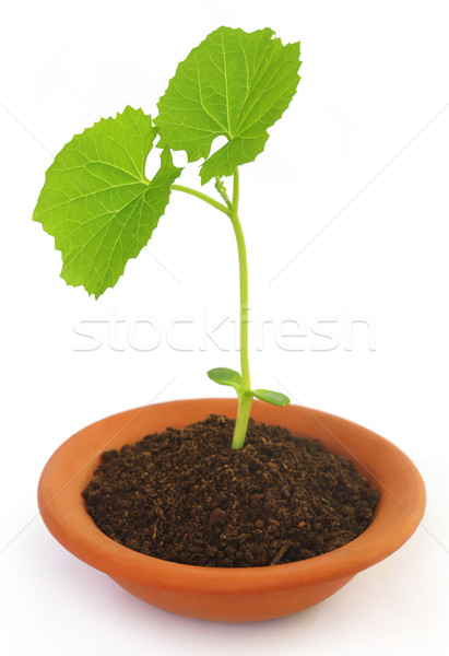 Baby plant of teasel gourd Stock photo © bdspn