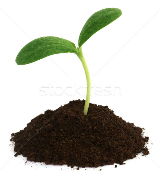 Pumpkin seedling on soil Stock photo © bdspn