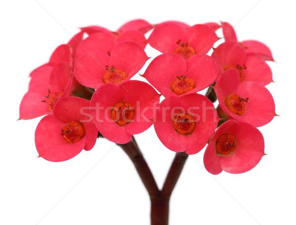 Red cactus flower Stock photo © bdspn