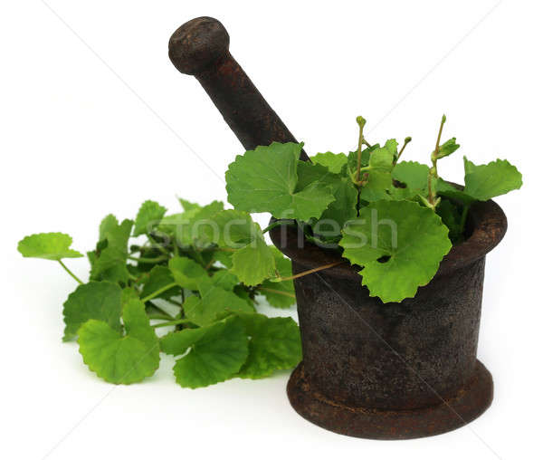 Medicinal thankuni leaves with mortar and pestle Stock photo © bdspn