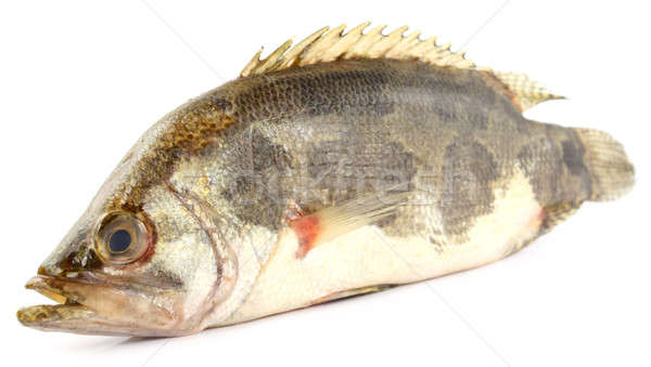 Mottled Nandus or veda fish Stock photo © bdspn