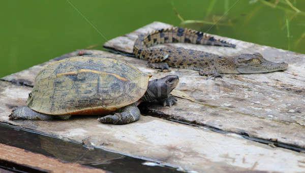 Jóvenes tortuga cocodrilo atención selectiva bebé parque Foto stock © bdspn