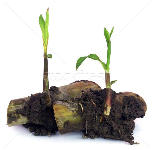 sugarcane seedling Stock photo © bdspn
