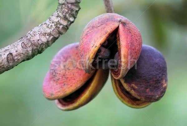 Hazel sterculia or tropical chestnut Stock photo © bdspn