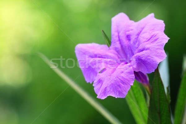 Mexican petunia  Stock photo © bdspn