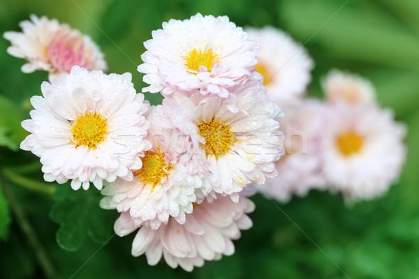 Yağmur krizantem çiçek yaprak yaz Stok fotoğraf © bdspn