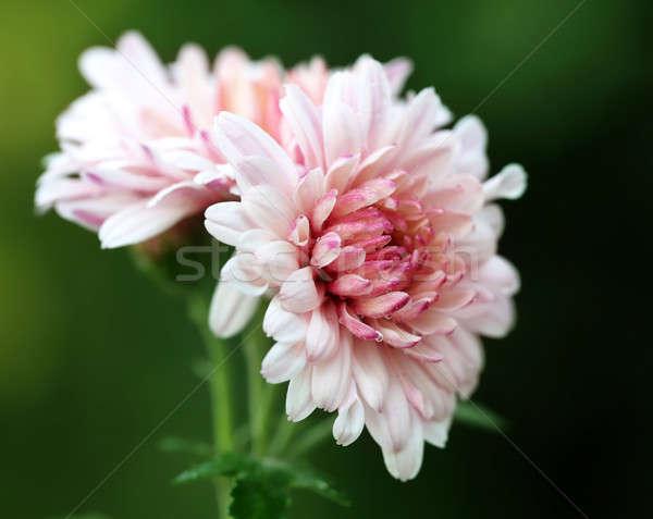 菊 自然 花 葉 夏 赤 ストックフォト © bdspn