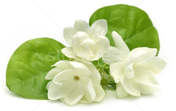 Jasmine flower Stock photo © bdspn