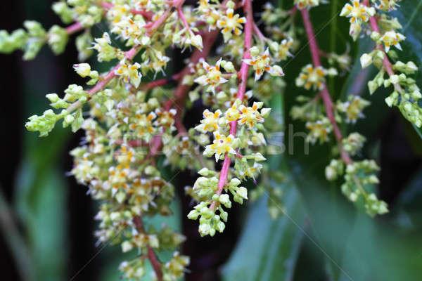 Mango flower Stock photo © bdspn