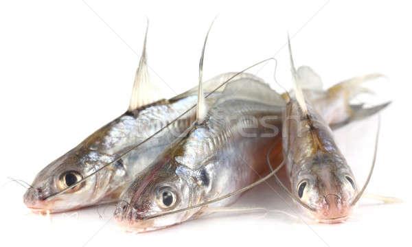 Peixe Bangladesh branco fresco isolado Foto stock © bdspn