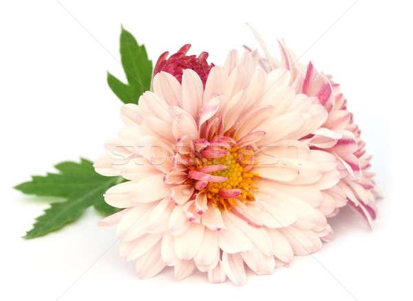 Krizantem beyaz çiçek yaprak yaz yeşil Stok fotoğraf © bdspn