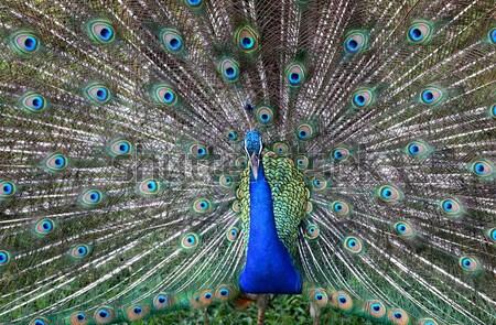 Pauw vogel groene Blauw veer Stockfoto © bdspn