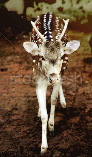 Stock photo: Single spotted deer