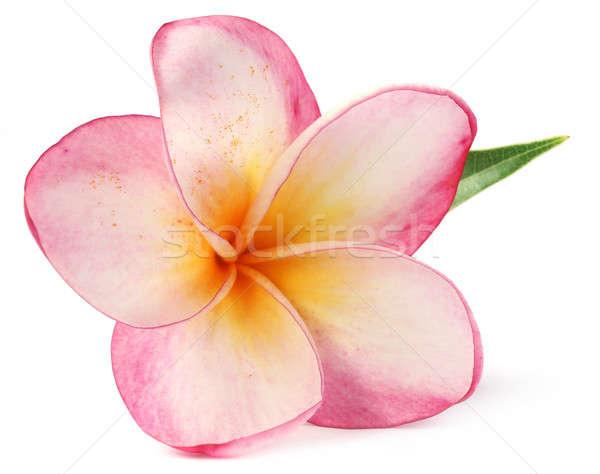 Hoja blanco verde tropicales rosa amarillo Foto stock © bdspn