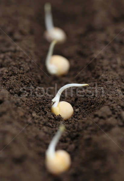 Green pea planting Stock photo © bdspn