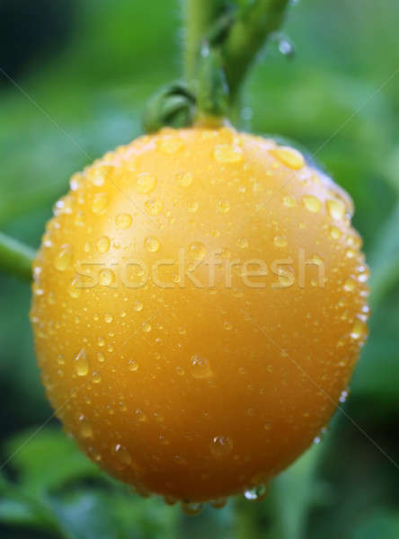 Ripe tomato Stock photo © bdspn