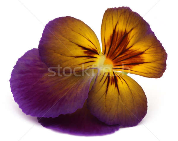 Viola flowe Stock photo © bdspn