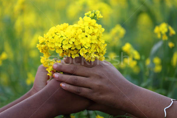 Hands holding bunch of mustard flowers Stock photo © bdspn