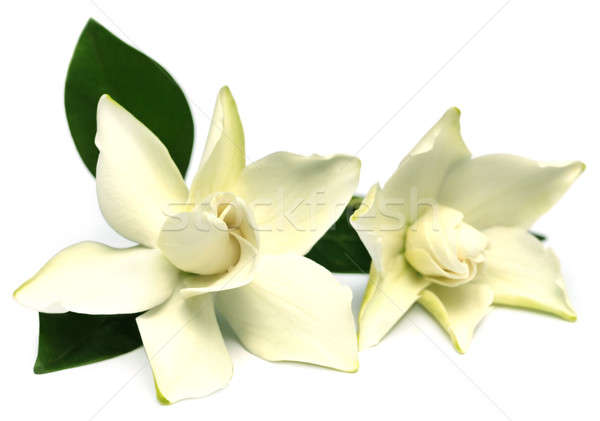 Gardenia or Gondhoraj flower Stock photo © bdspn
