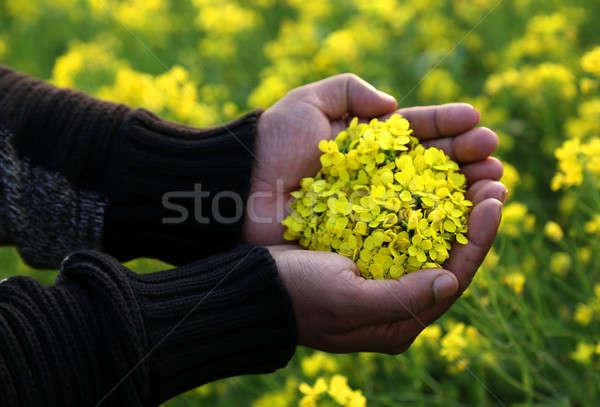 Stock photo: Hand holding mustard flower