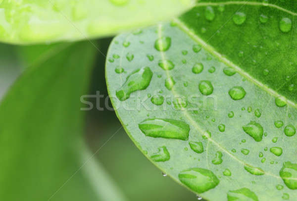 Rain soaked Cinnamon leaves Stock photo © bdspn