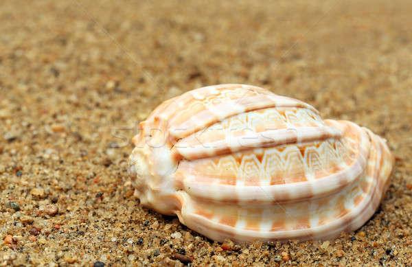 Snail shell in a sea beach Stock photo © bdspn