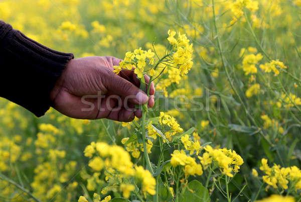 Hand holding mustard flower Stock photo © bdspn