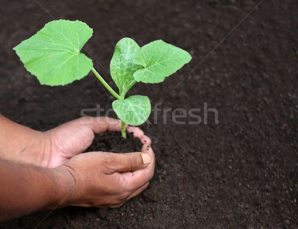 Seedling of a bottle gourd Stock photo © bdspn