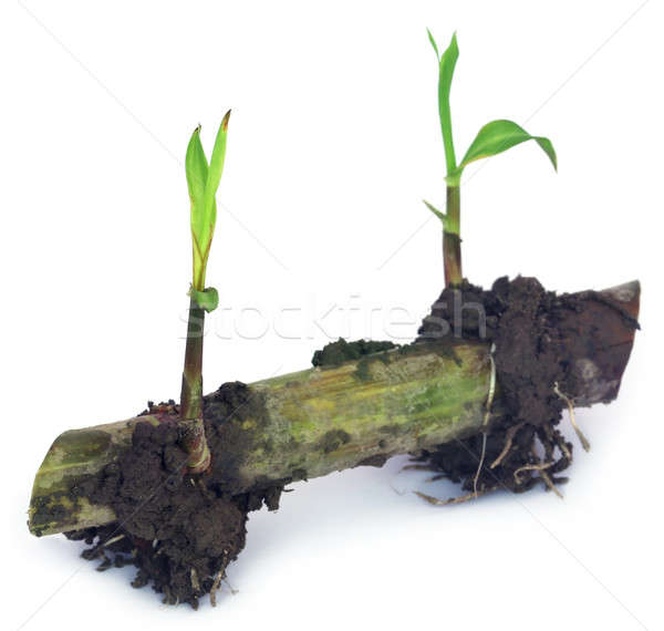 Seedling of sugarcane Stock photo © bdspn