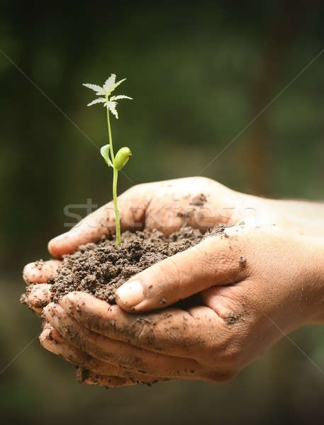 Neem seedling in hands of a farmer Stock photo © bdspn