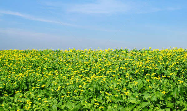 Stock fotó: Mustár · mező · alatt · égbolt · kilátás · kék · ég