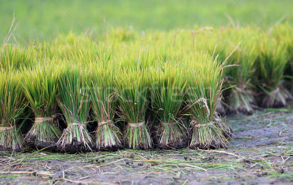 View of cultivated field with paddy seedling Stock photo © bdspn