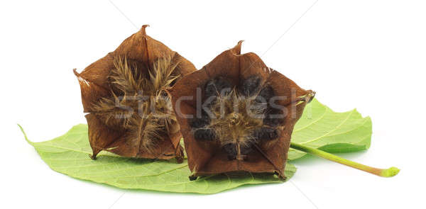 Devil's cotton with green leaf Stock photo © bdspn
