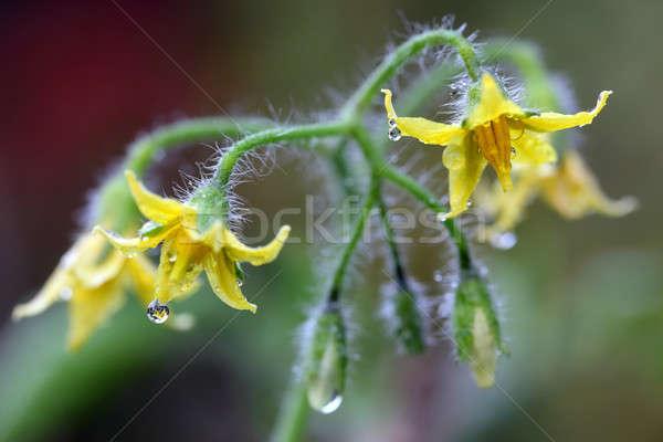Tomato flower Stock photo © bdspn