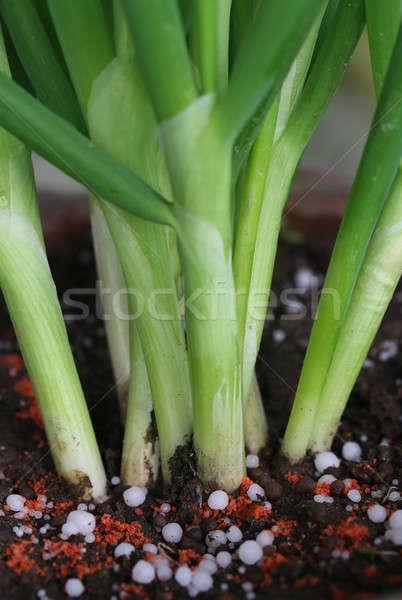 Onion plant with chemical fertilizer Stock photo © bdspn