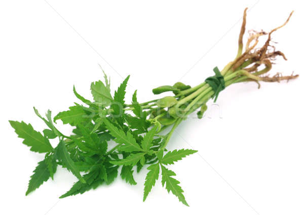Bunch of neem plant Stock photo © bdspn