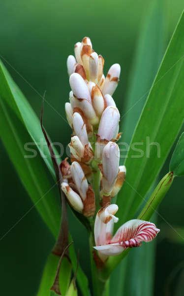 Kardemom bloem natuur voedsel blad thee Stockfoto © bdspn