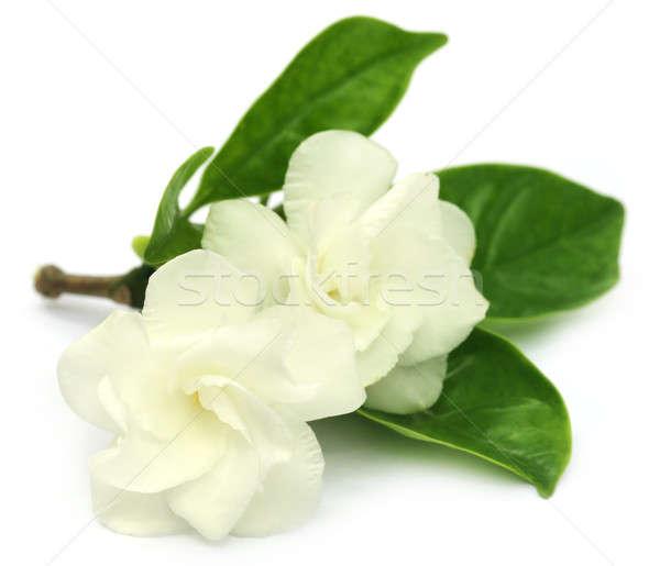 Photo stock: Fleur · sous-continent · indien · blanche · printemps · jardin · fond