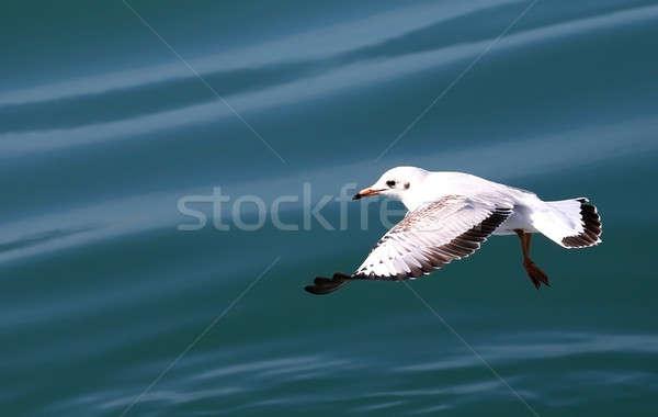 Sirály repülés hullám víz természet óceán Stock fotó © bdspn