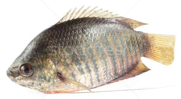 Banded gourami of Southern Asia Stock photo © bdspn