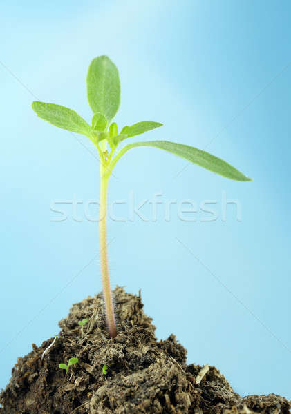 Tomato seedling with selective focus against blue sky Stock photo © bdspn