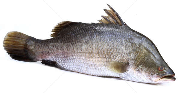 Barramundi or Koral fish of Southeast Asia Stock photo © bdspn