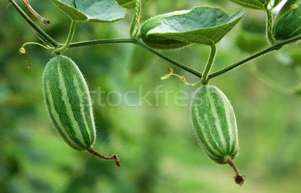 Green pointed gourd in vegetable garden Stock photo © bdspn