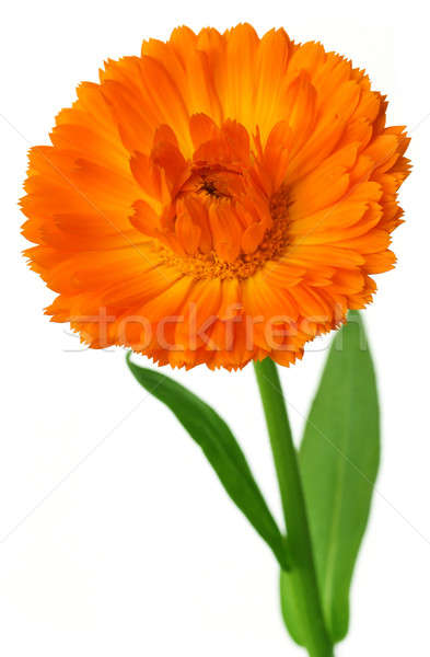 Closeup of calendula Stock photo © bdspn