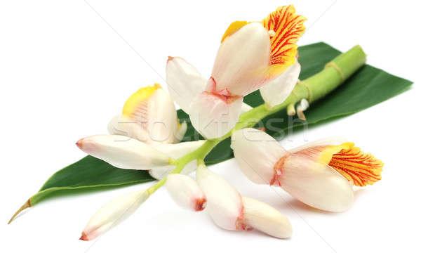 Kakule çiçek beyaz yeşil yaprakları çay Stok fotoğraf © bdspn